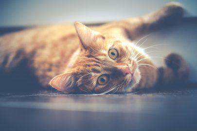 Nat voer of droog voer aan uw kat geven?