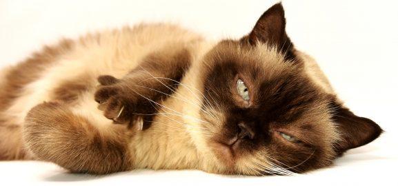 Katten en hun bloeddruk