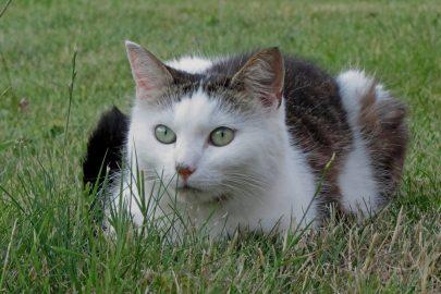 Waarom eten katten gras?